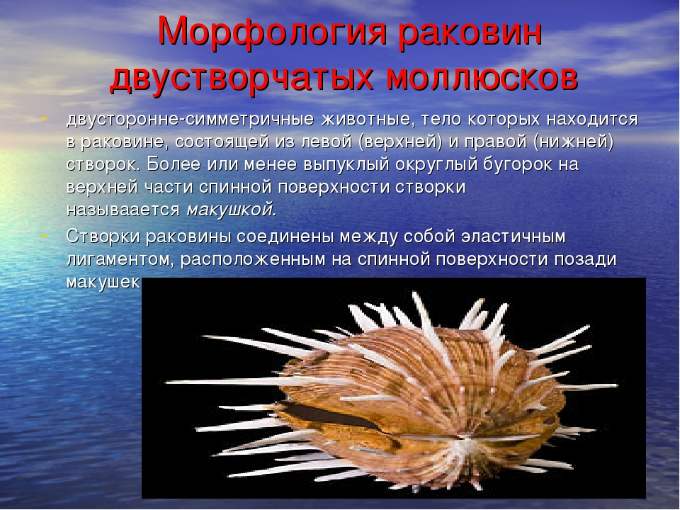 Морфология раковин двустворчатых моллюсков двусторонне-симметричные животны...