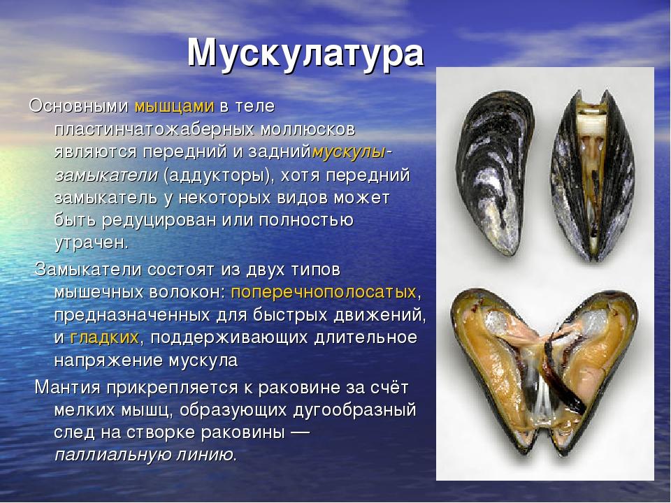 Мускулатура Основнымимышцамив теле пластинчатожаберных моллюсков являются...