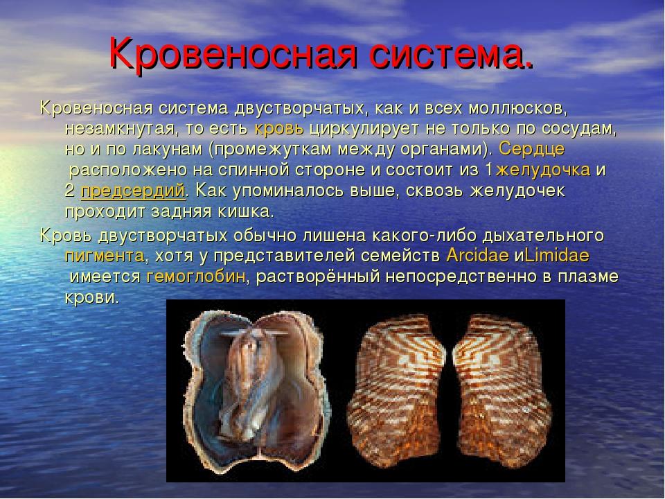 Кровеносная система. Кровеносная система двустворчатых, как и всех моллюсков...