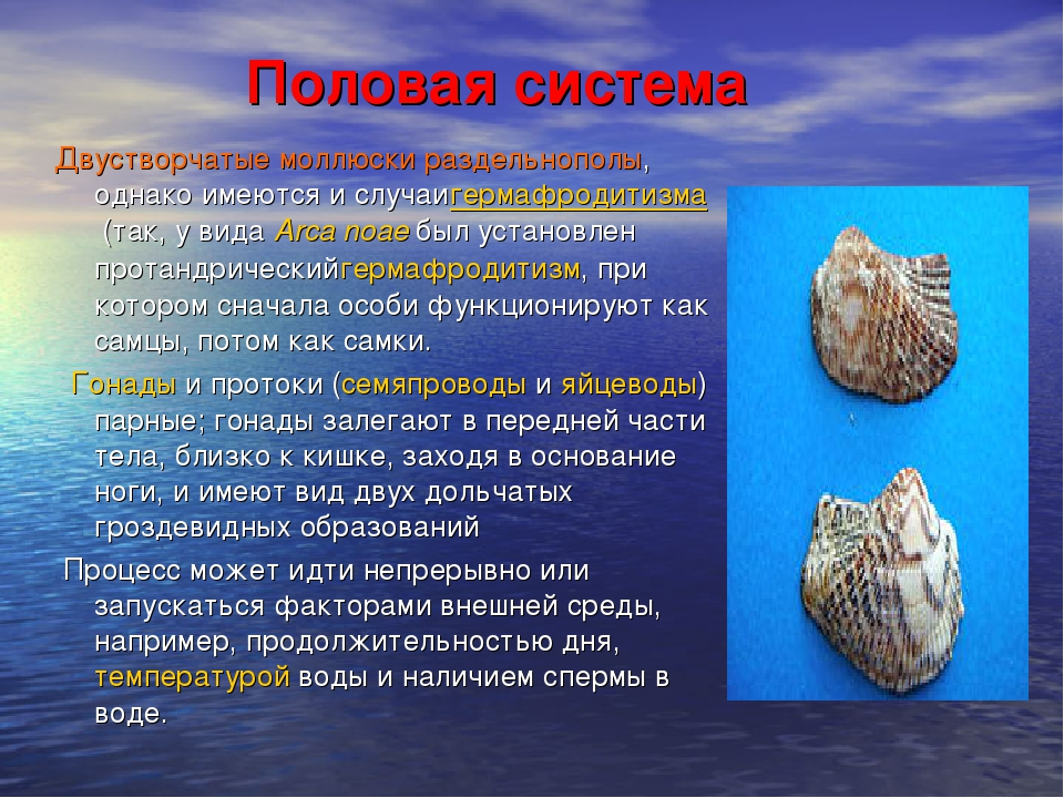 Половая система Двустворчатые моллюски раздельнополы, однако имеются и случа...