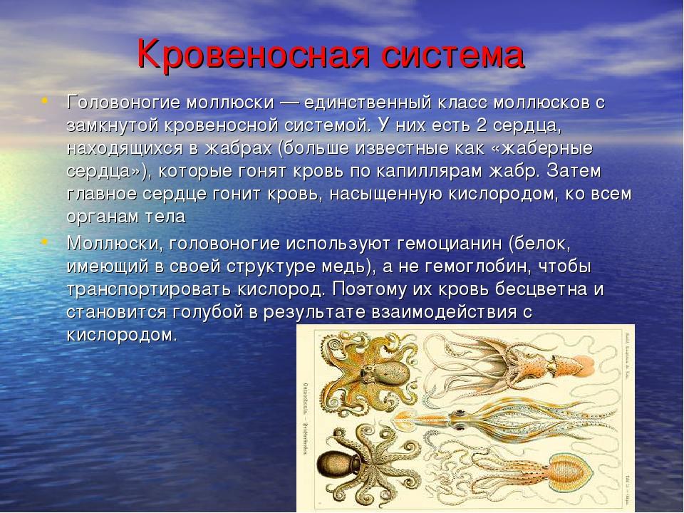 Кровеносная система Головоногие моллюски— единственный класс моллюсков с за...