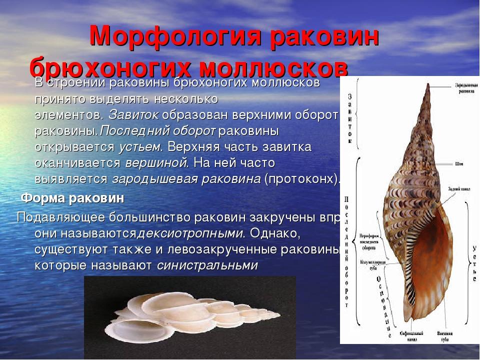 Морфология раковин брюхоногих моллюсков В строении раковины брюхоногих молл...