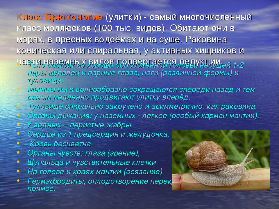 КлассБрюхоногие(улитки) - самый многочисленный класс моллюсков (100 тыс. ви...