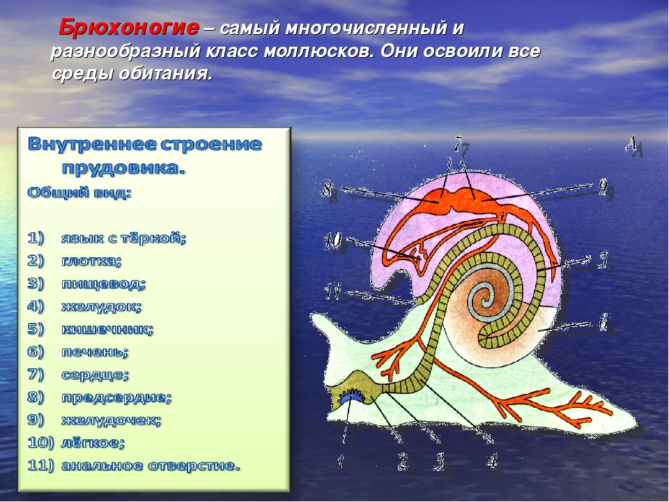 Брюхоногие – самый многочисленный и разнообразный класс моллюсков. Они осво...