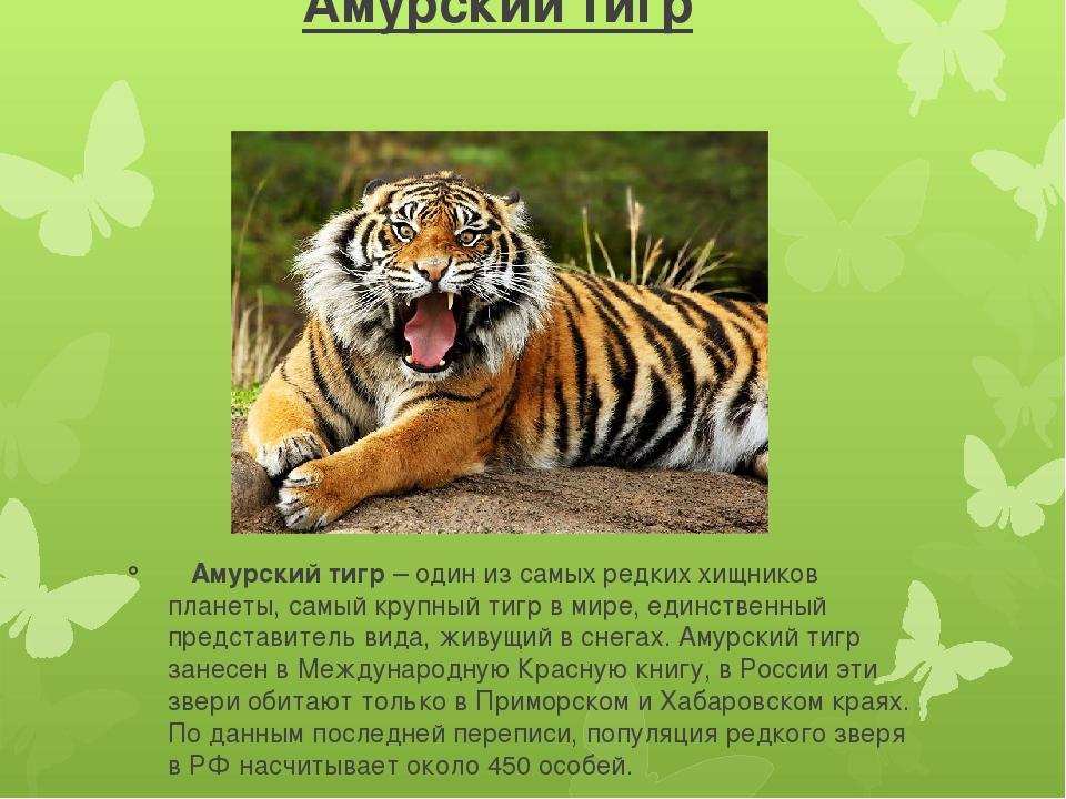 Амурский тигр картинка с описанием