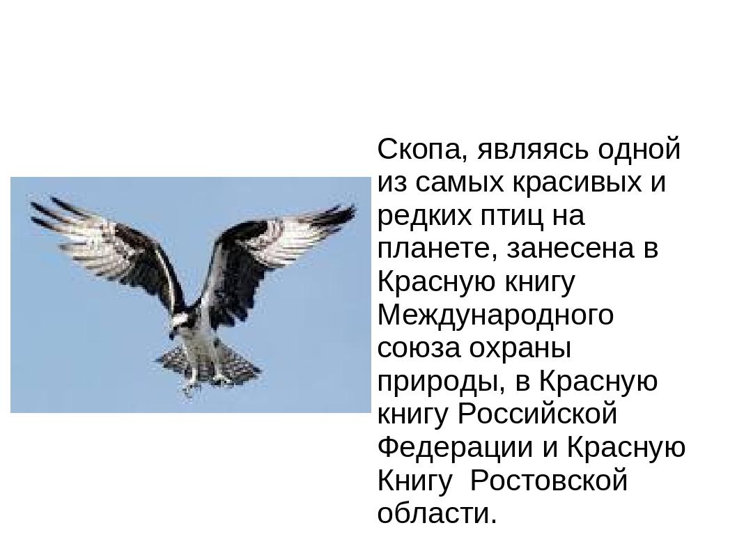 Скопа, являясь одной из самых красивых и редких птиц на планете, занесена в К...