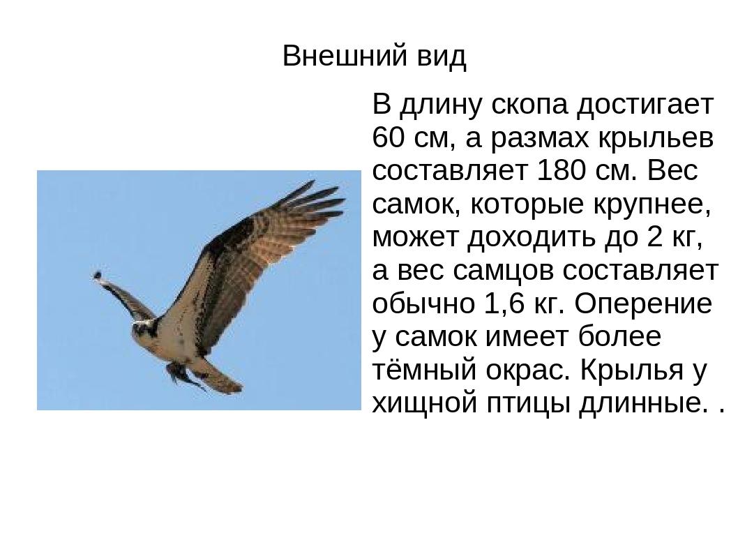Внешний вид В длину скопа достигает 60 см, а размах крыльев составляет 180 см...