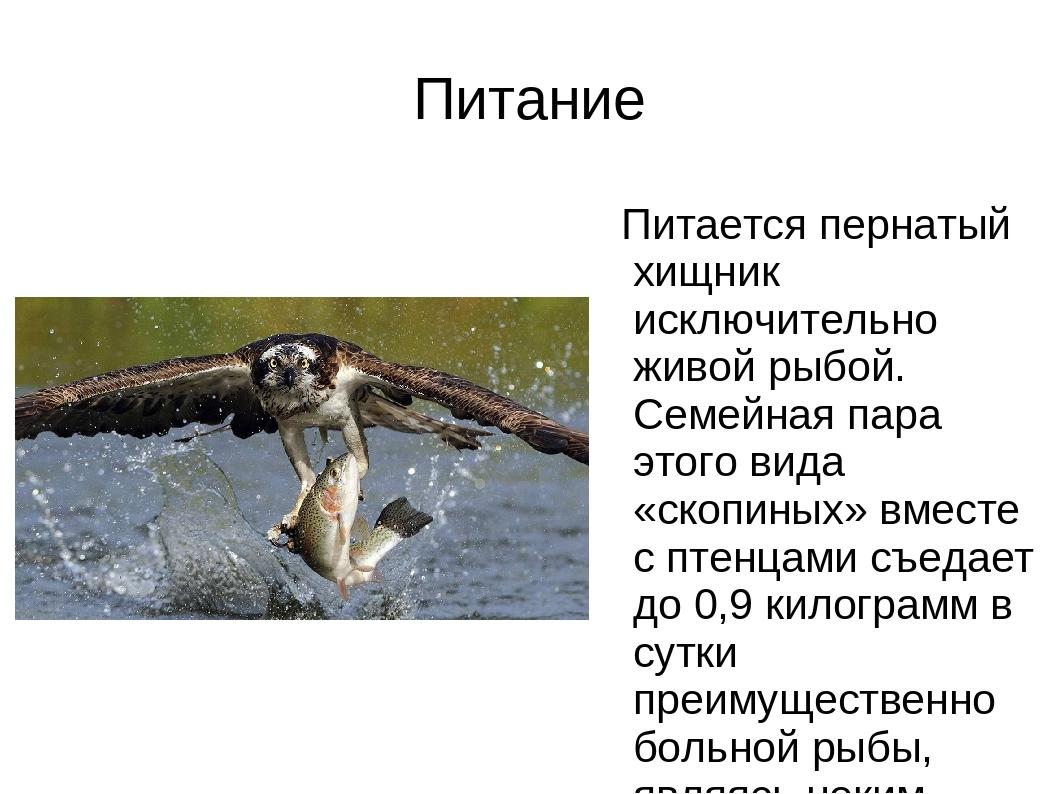 Питание Питается пернатый хищник исключительно живой рыбой. Семейная пара это...