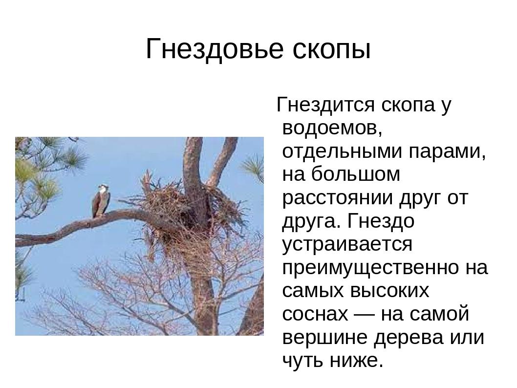 Гнездовье скопы Гнездится скопа у водоемов, отдельными парами, на большом рас...
