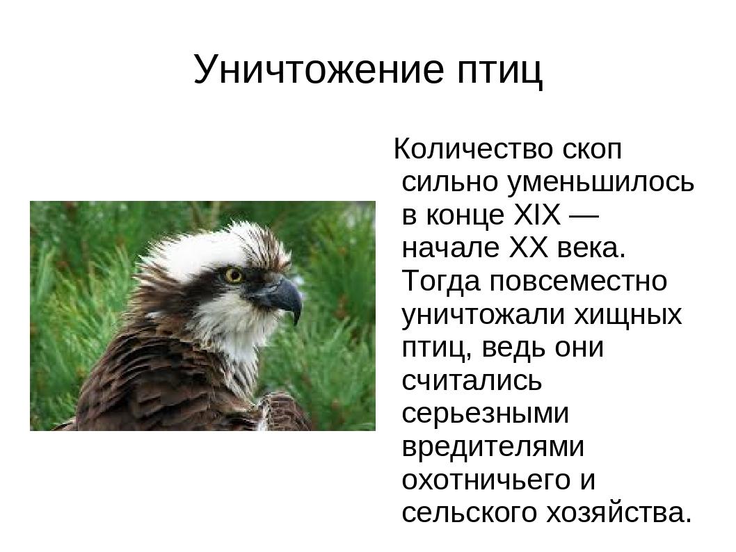 Уничтожение птиц Количество скоп сильно уменьшилось в конце XIX — начале XX в...