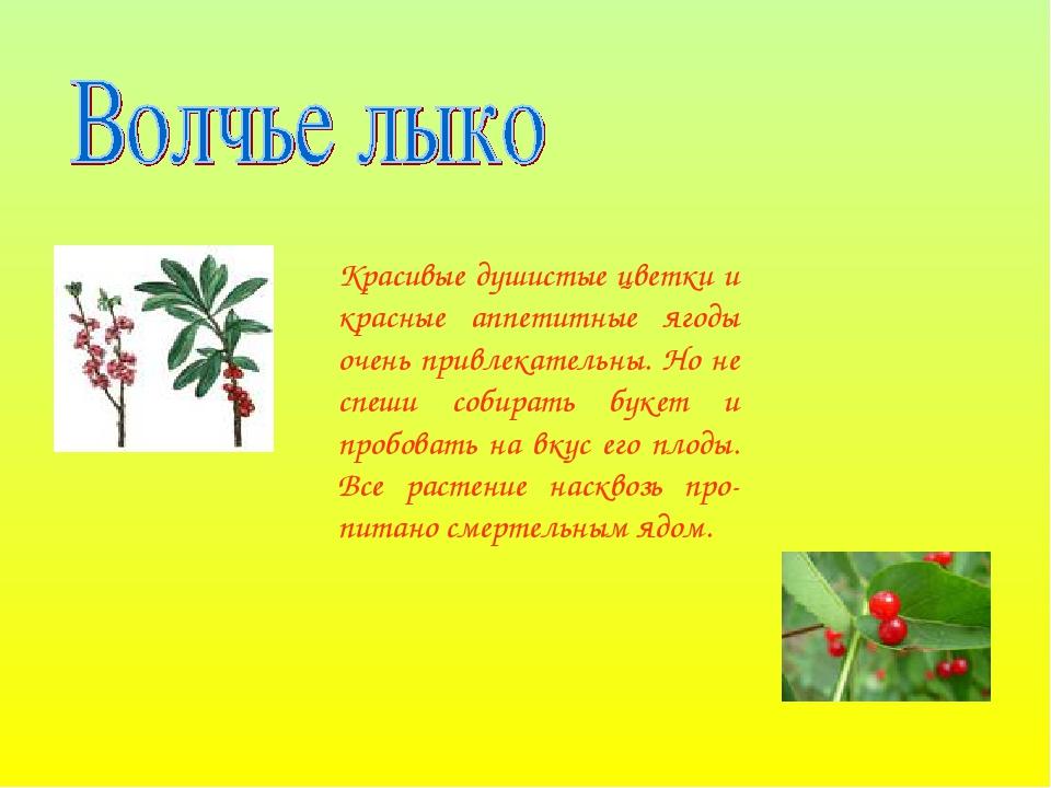 Красивые душистые цветки и красные аппетитные ягоды очень привлекательны. Но...