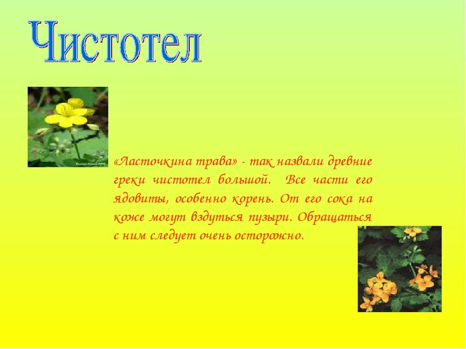 «Ласточкина трава» - так назвали древние греки чистотел большой. Все части ег...