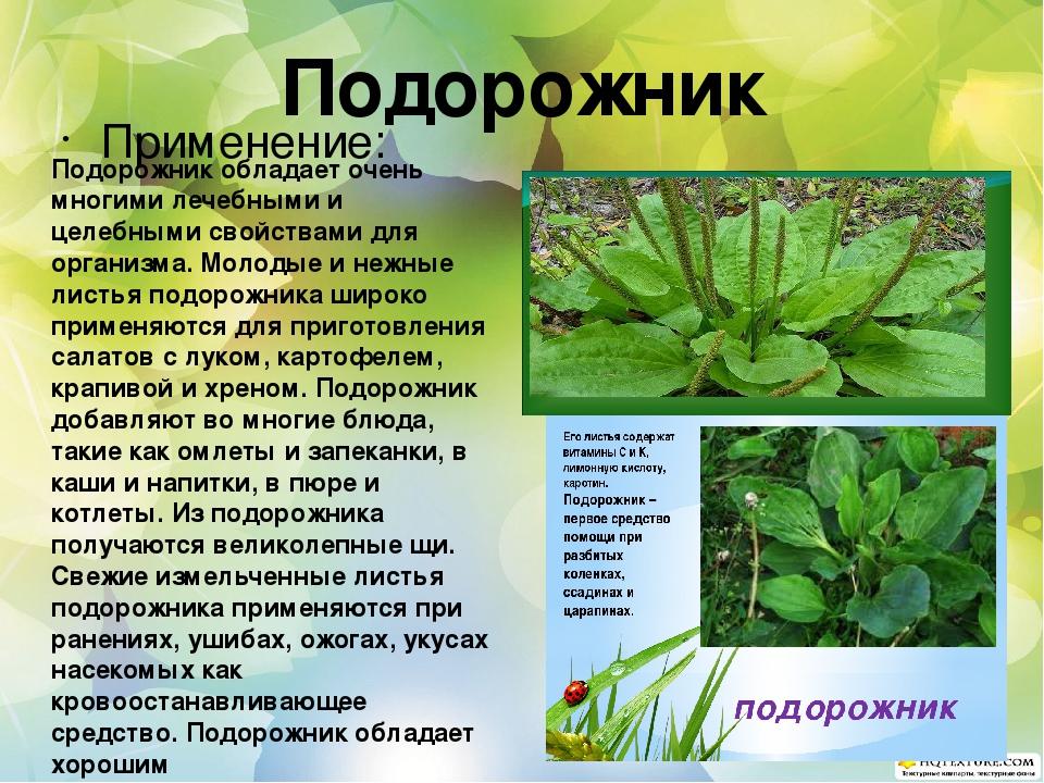 Подорожник растение лечебные свойства
