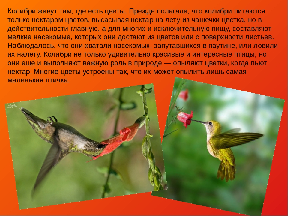 колибри описание птицы человека движении