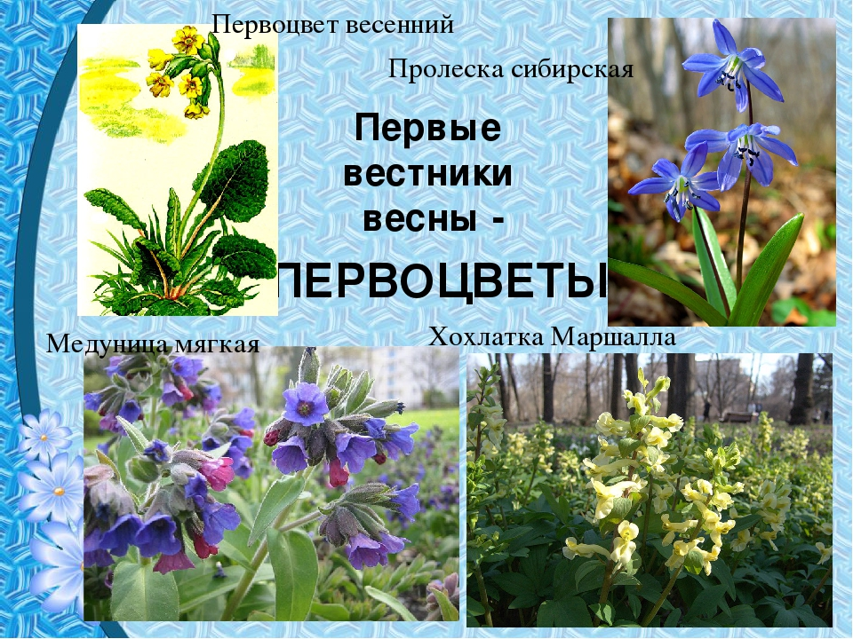 Первоцветы картинки для детей с названиями и описанием для детей