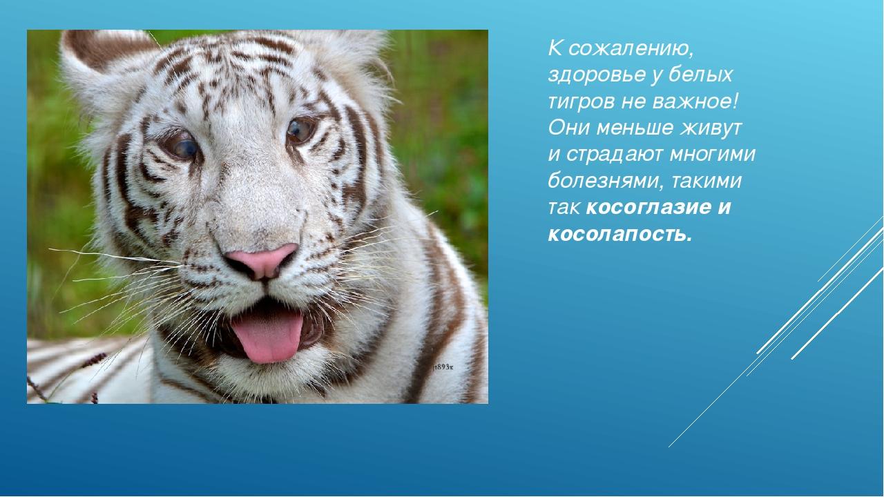 Научный доклад про тигра 2809