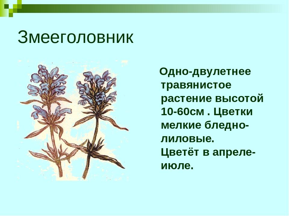 Змееголовник Одно-двулетнее травянистое растение высотой 10-60см . Цветки мел...