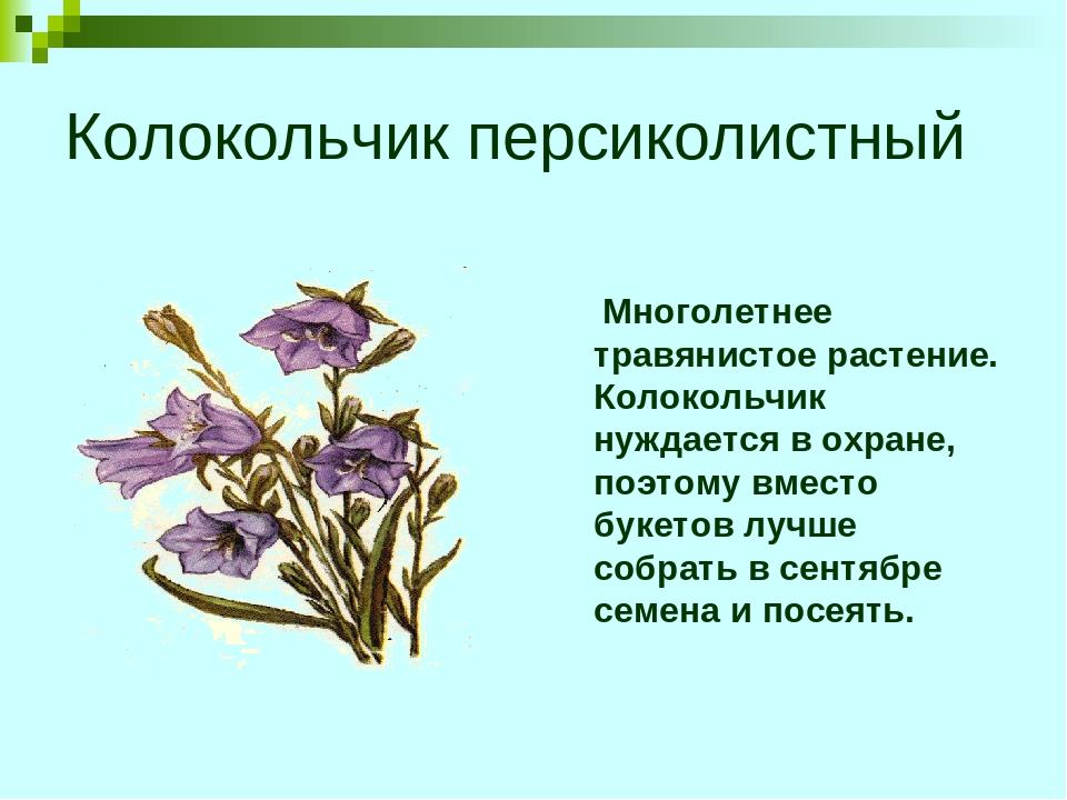 Колокольчик персиколистный Многолетнее травянистое растение. Колокольчик нужд...