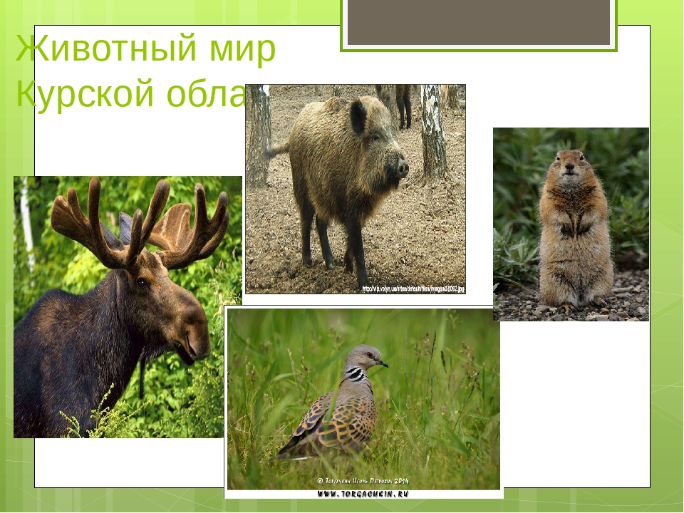 Животные курского края фото и описание