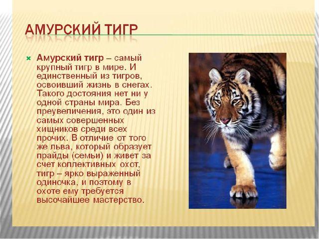 Амурский (уссурийский) тигр. Описание. Фото. | Большие Кошки