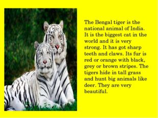 The Bengal tiger is the national animal of India. It is the biggest cat in th