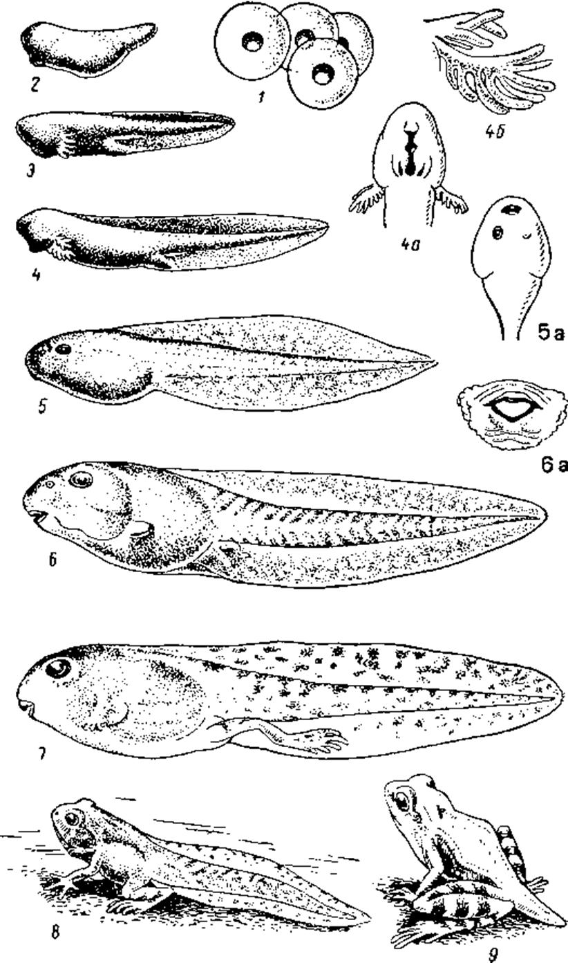 Этапы развития лягушки в картинках, про друзей надписями