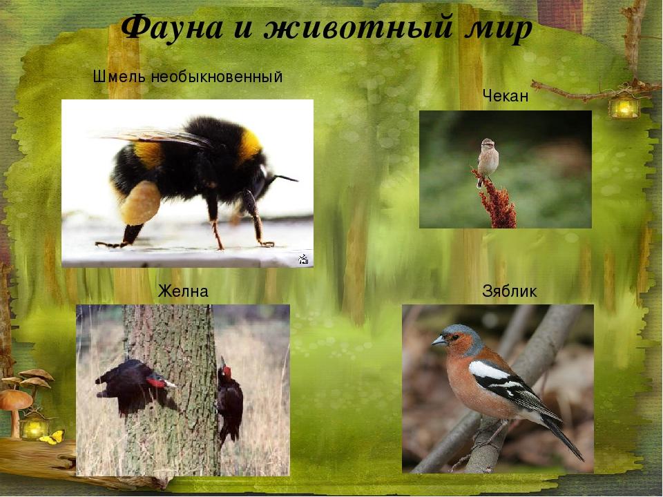 Фауна и животный мир Желна Чекан Зяблик Шмель необыкновенный