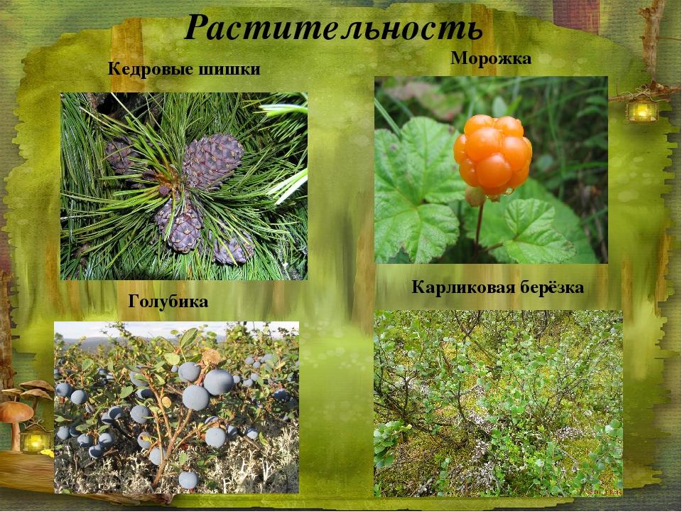 Растительность Кедровые шишки Морожка Голубика Карликовая берёзка