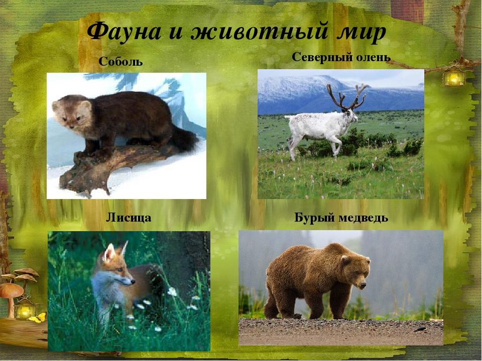 Фауна и животный мир Соболь Северный олень Бурый медведь Лисица