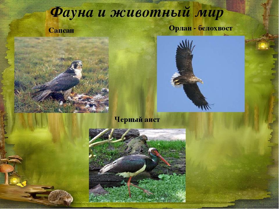 Фауна и животный мир Сапсан Орлан - белохвост Черный аист