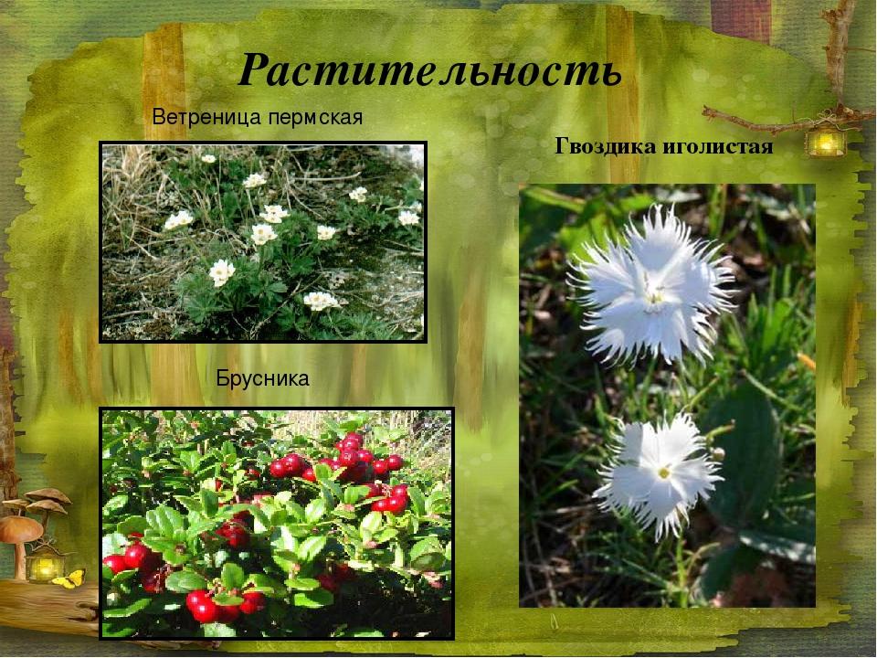Растительность Ветреница пермская Брусника Гвоздика иголистая