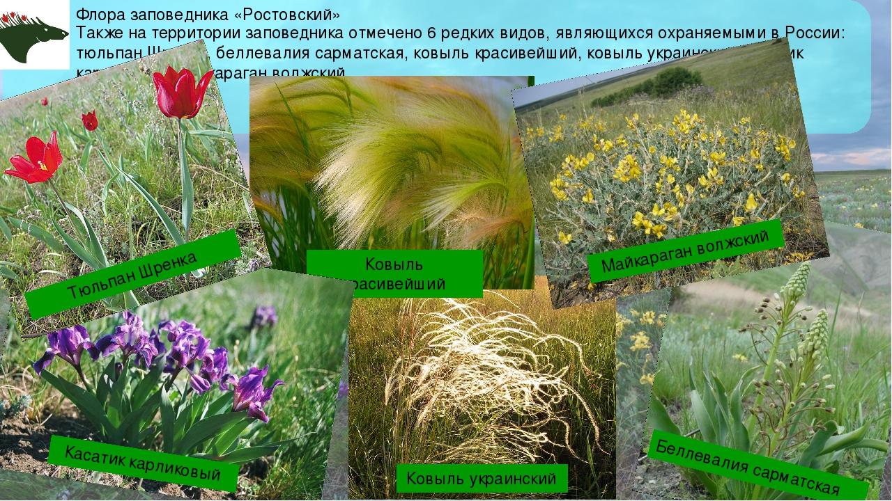Флора заповедника «Ростовский» Также на территории заповедника отмечено 6 ред...