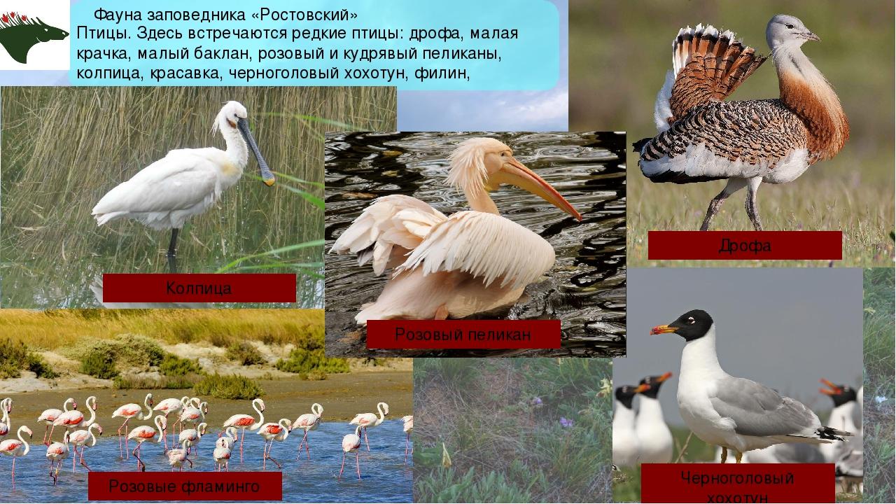 Фауна заповедника «Ростовский» Птицы. Здесь встречаются редкие птицы: дрофа,...