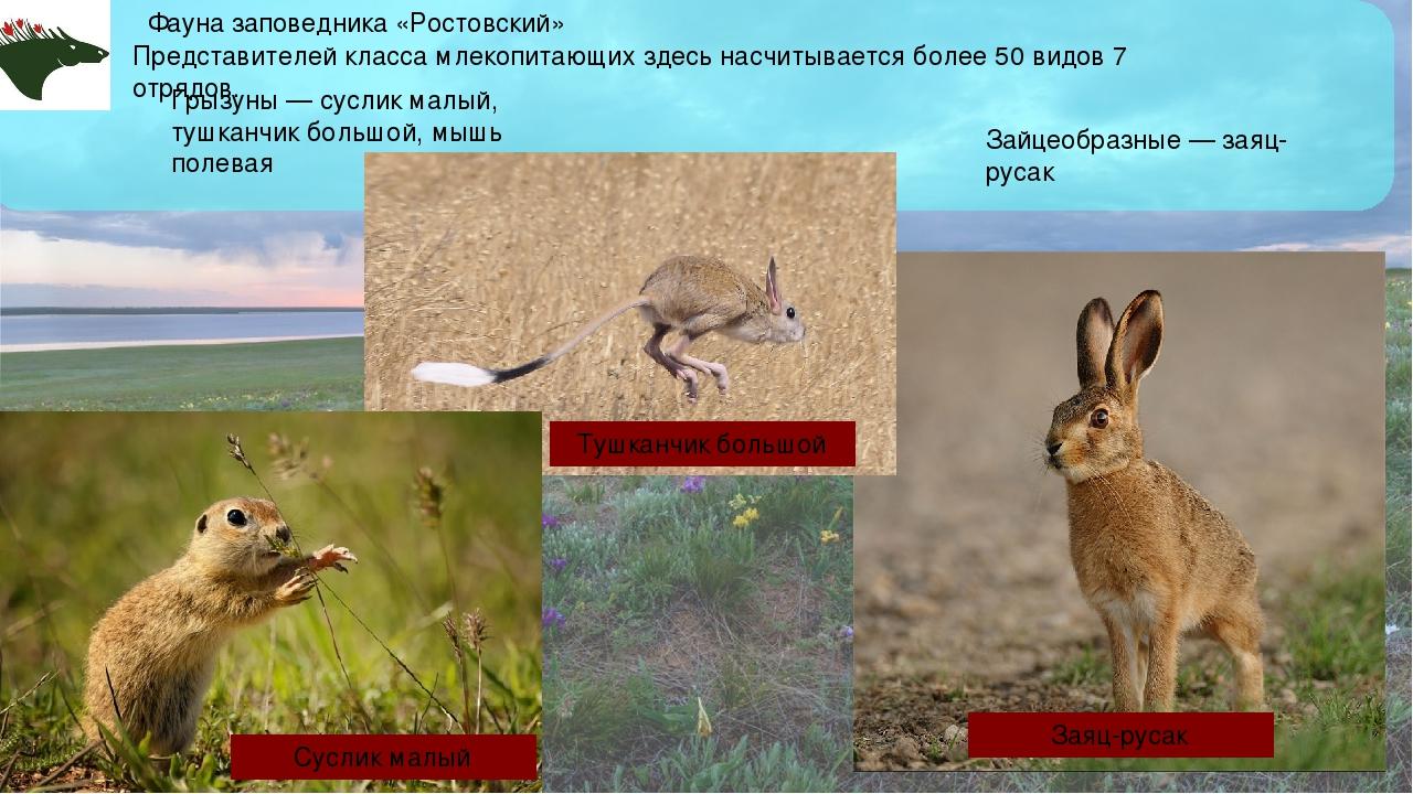 Фауна заповедника «Ростовский» Представителей класса млекопитающих здесь насч...