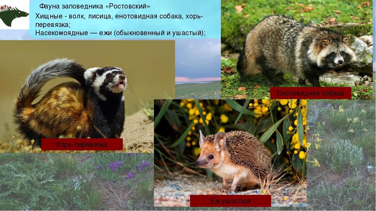 Фауна заповедника «Ростовский» Хищные - волк, лисица, енотовидная собака, хор...
