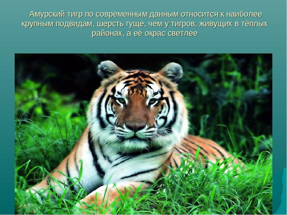 возникают текст про амурского тигра перед отъездом