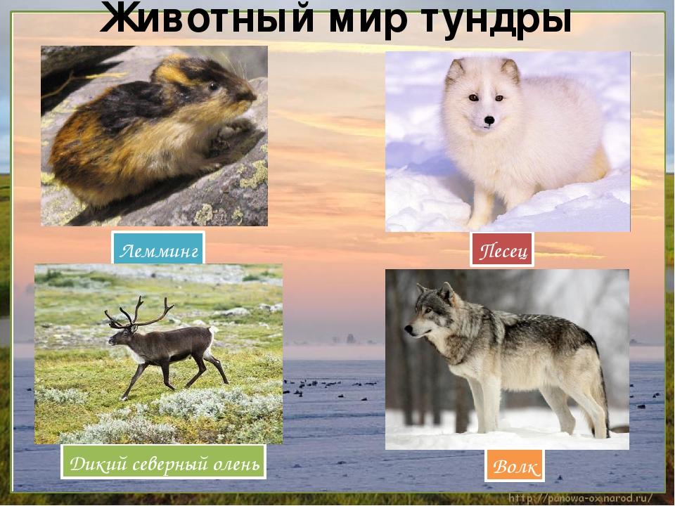ситуация все о животных тундры с картинками выбору клинкерной