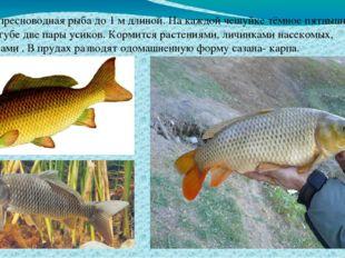 Сазан - пресноводная рыба до 1 м длиной. На каждой чешуйке тёмное пятнышко, н