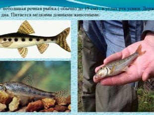 Пескарь- небольшая речная рыбка ( обычно до 15 см) ; в углах рта усики. Держи