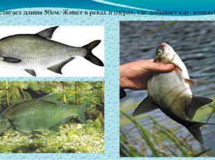 Лещ достигает длины 50см. Живёт в реках и озёрах, где добывает еду, копаясь в