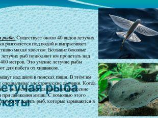 Летучая рыба Скаты Летучая рыба. Существует около 40 видов летучих рыб. Рыбк