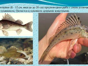 Ёрш небольшая (8 - 12 см, иногда до 20 см) пресноводная рыба с очень колючим