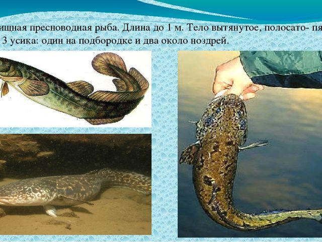 Налим- хищная пресноводная рыба. Длина до 1 м. Тело вытянутое, полосато- пят...