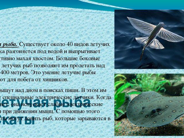 Летучая рыба Скаты Летучая рыба. Существует около 40 видов летучих рыб. Рыбк...
