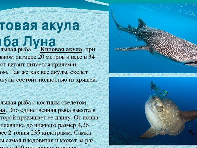 Китовая акула Рыба Луна Самая большая рыба — Китовая акула, при максимальном...