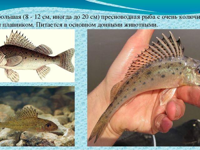 Ёрш небольшая (8 - 12 см, иногда до 20 см) пресноводная рыба с очень колючим...