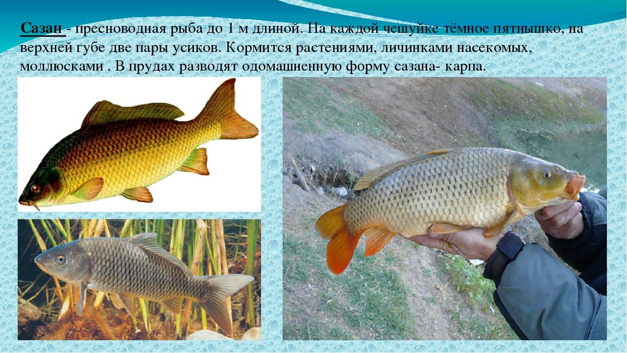 Сазан - пресноводная рыба до 1 м длиной. На каждой чешуйке тёмное пятнышко, н...