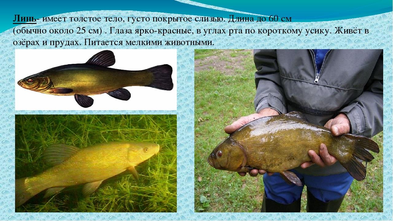 Линь- имеет толстое тело, густо покрытое слизью. Длина до 60 см (обычно около...