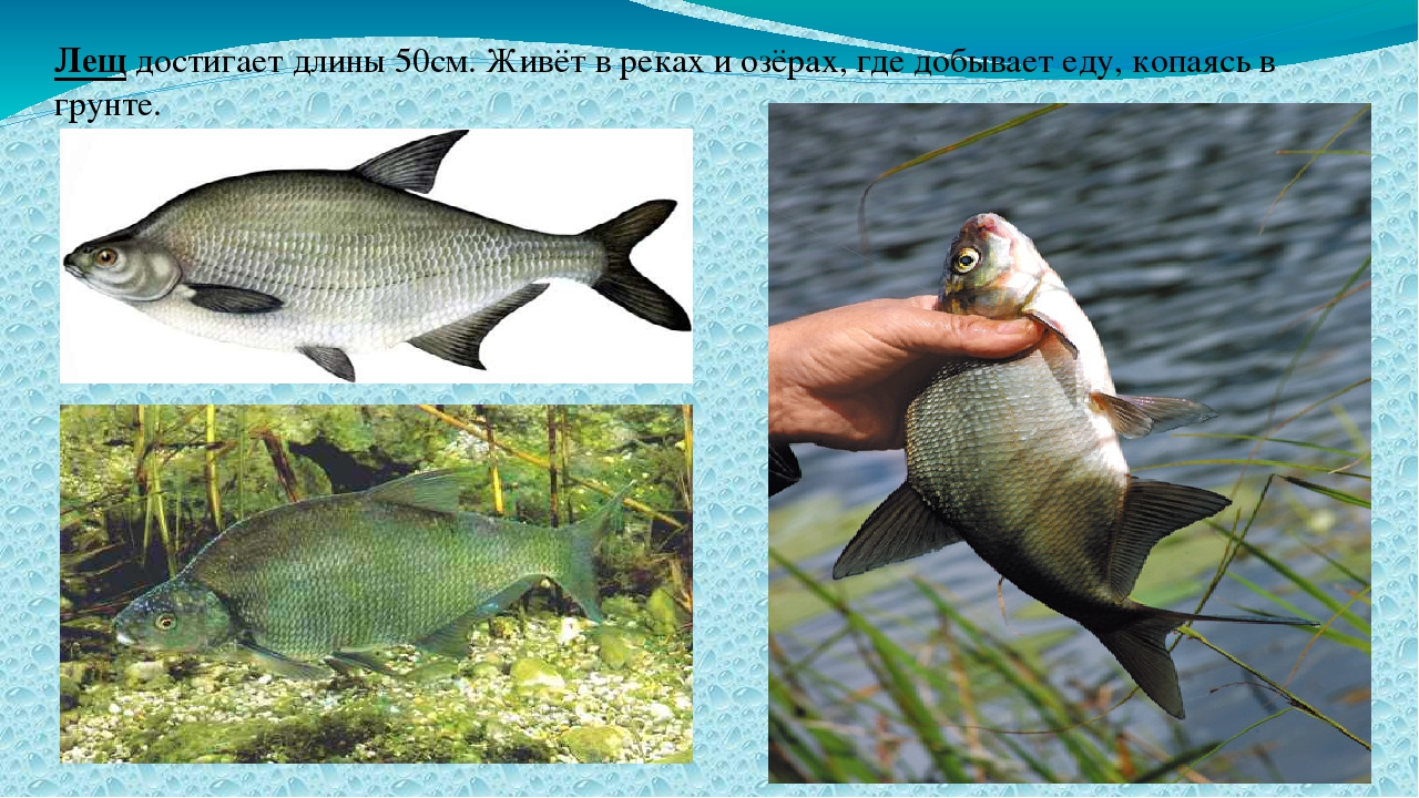 Лещ достигает длины 50см. Живёт в реках и озёрах, где добывает еду, копаясь в...