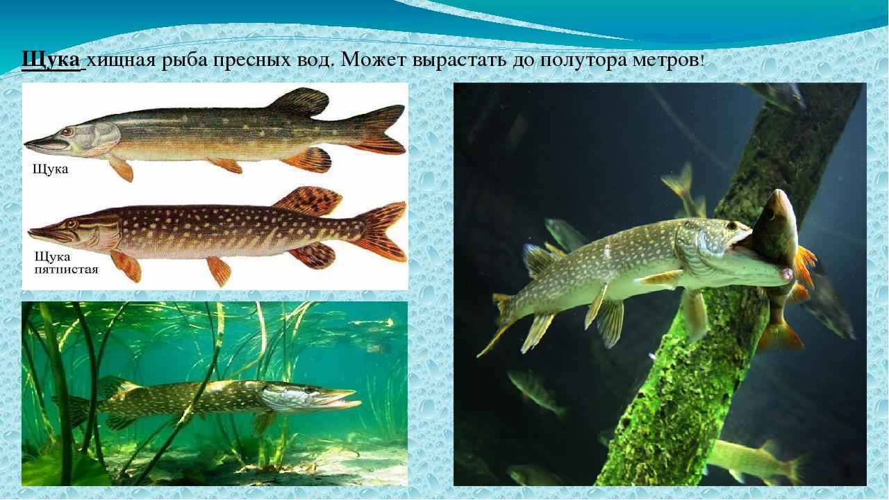 Щука хищная рыба пресных вод. Может вырастать до полутора метров!